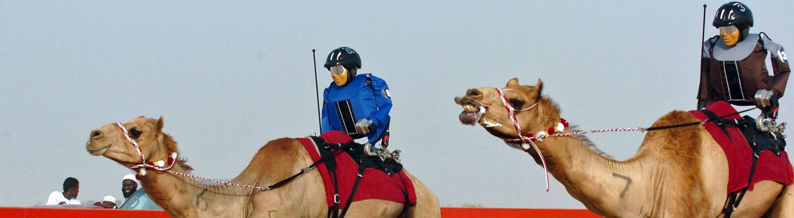 Roboter-Jockeys liefern sich auf Kamelen ein Wettrennen in Katar.