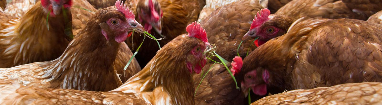 Viele braune Hühner stehen beisammen. Sie fressen Gras.