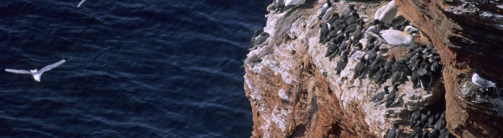 Trottellummen an einem Felsvorsprung auf Helgoland