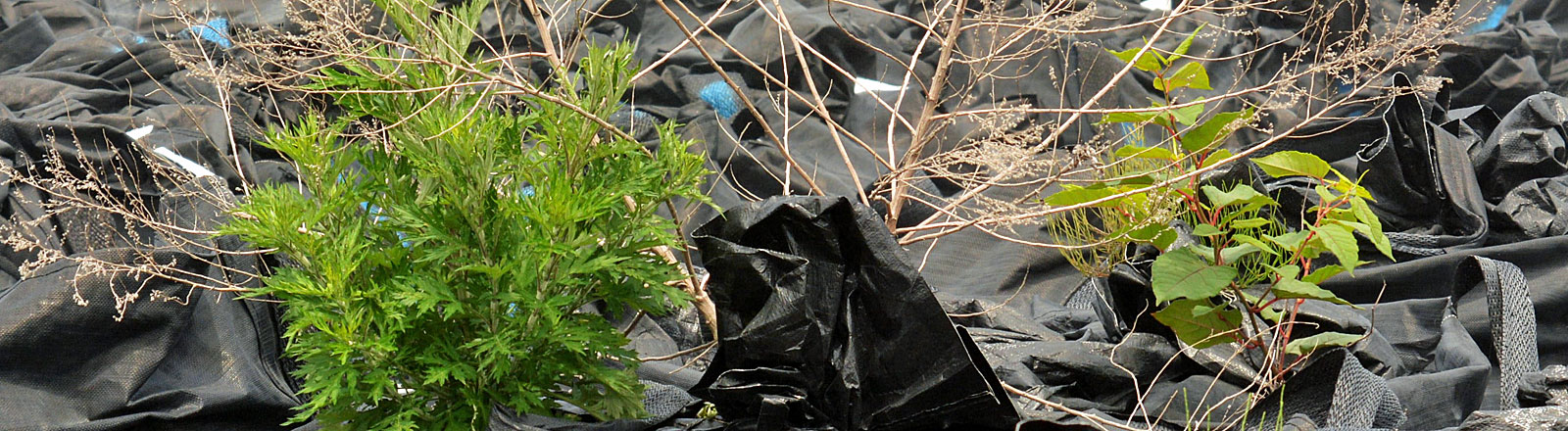 Weeds grow from ruptured bags of waste with low concentration-levels of radioactive substances in May 2015 in Fukushima