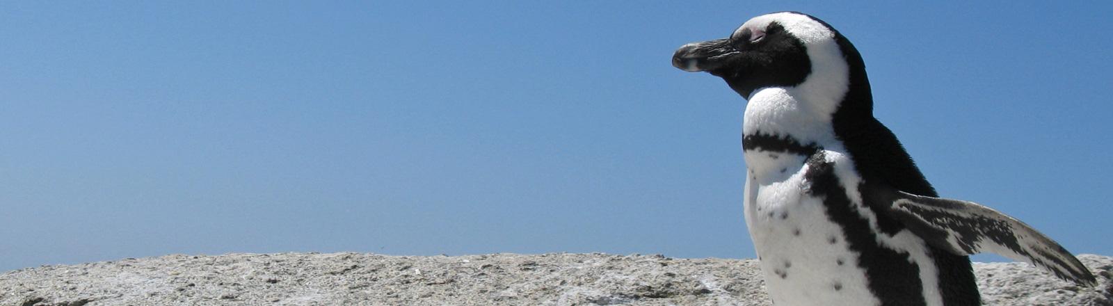 Ein Pinguin steht rechts im Bild vor blauem Himmel. Er hebt die Flossen etwas in die Luft.