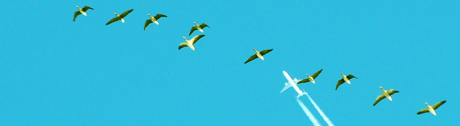 Zugvögel fliegen unter einem FLugzeug.