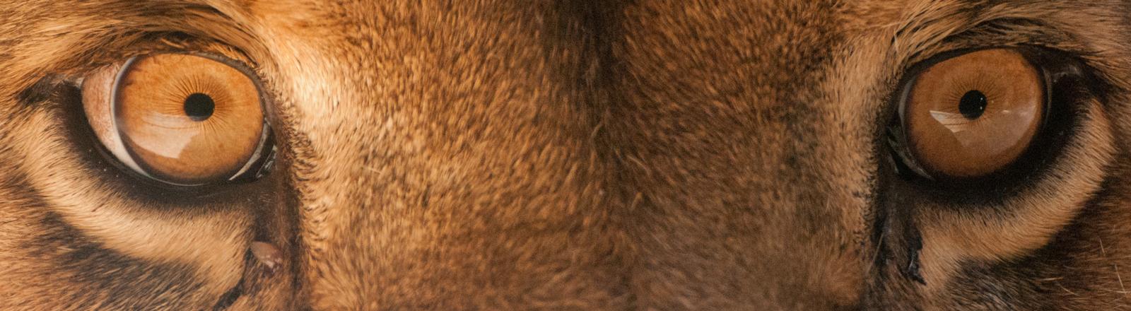 Ein Blick in die Augen eines Löwen.