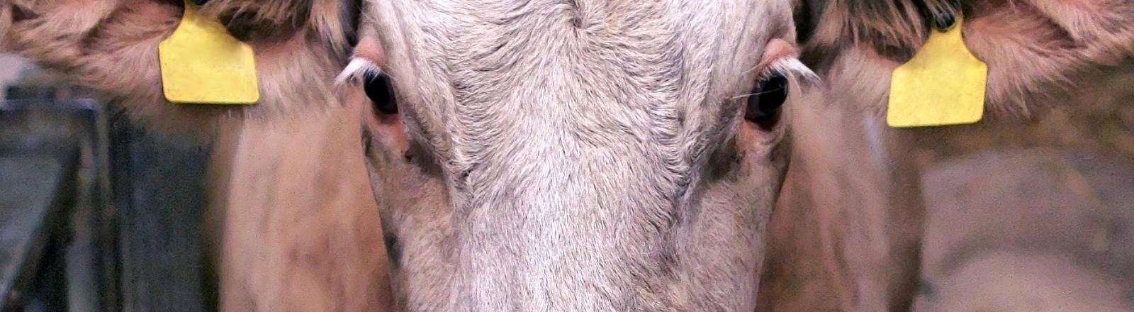 Auge in Auge mit  der Kuh.