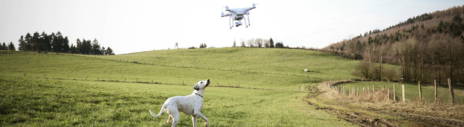 Ein Hund schaut zu einer Drohne nach oben.