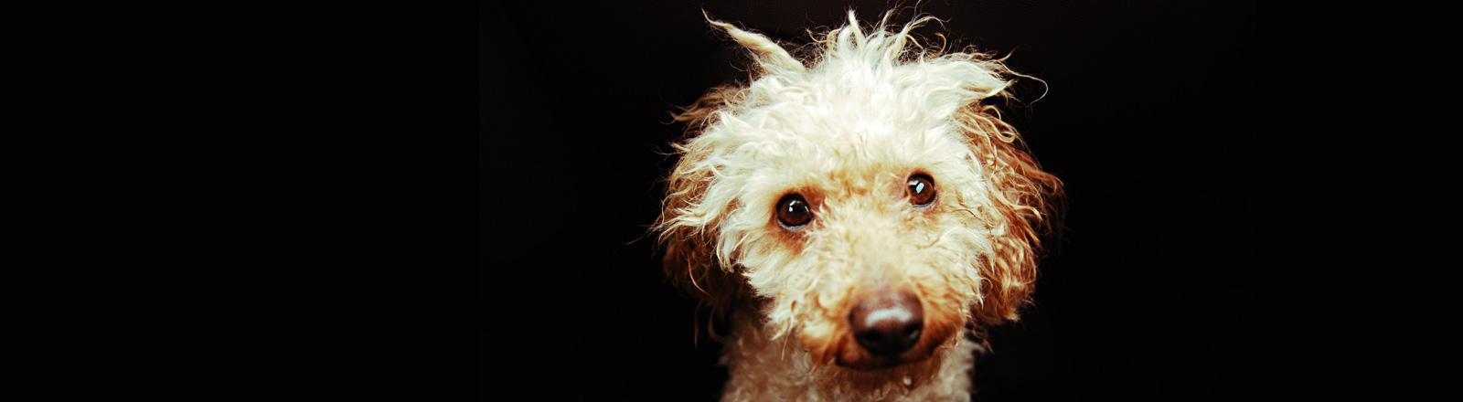Ein kleiner Hund blickt direkt in die Kamera, der Hintergrund ist schwarz.