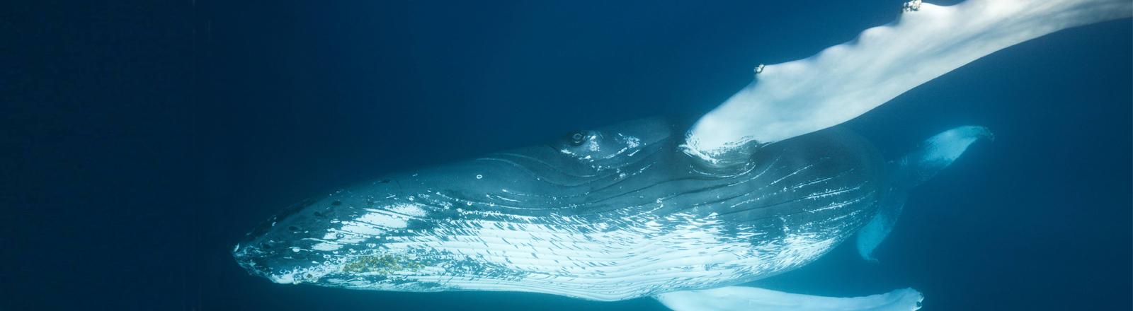 Buckelwal in der Karibik vor der Dominikanischen Republik.