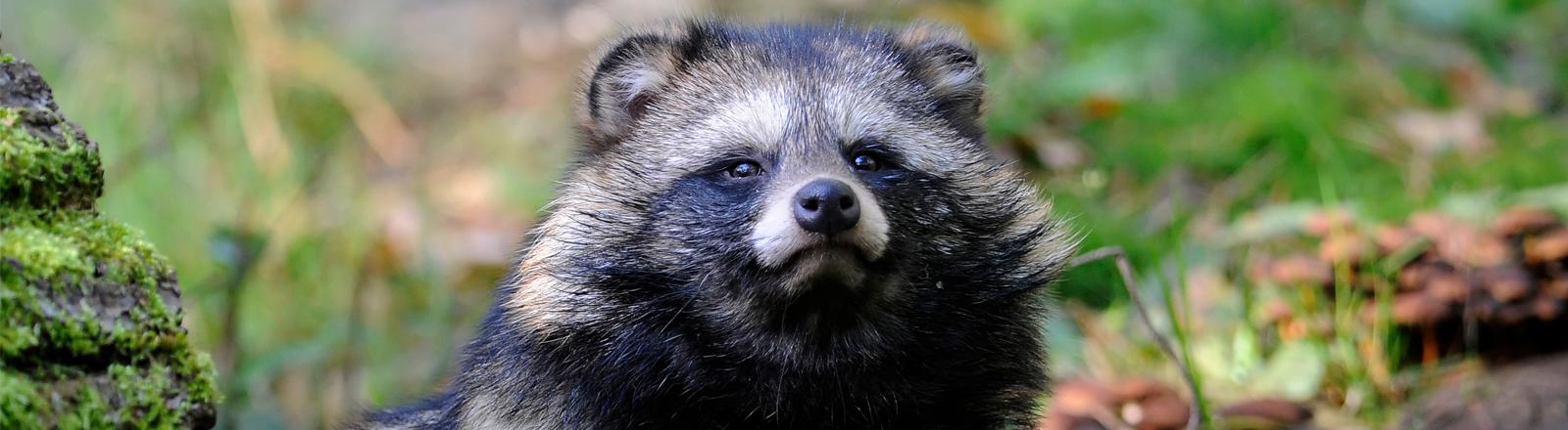 Ein flauschiger Marderhund im Zoo