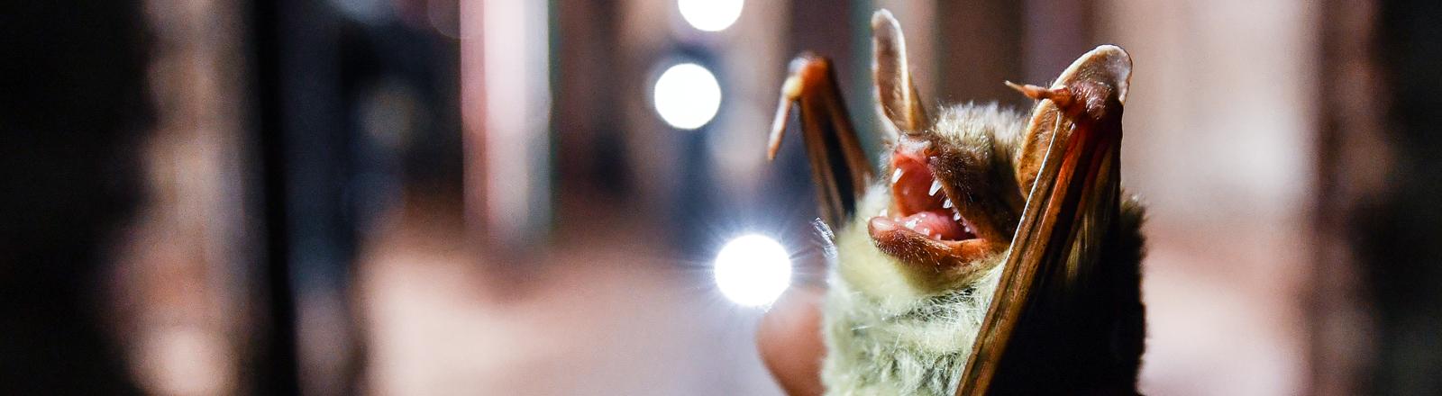Eine Hand hält eine Fledermaus der Gattung Großes Mausohr
