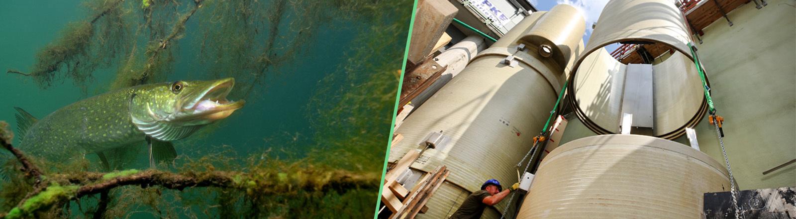 Collage: Foto links zeigt einen Hecht; Foto rechts ist der Blick auf den Bau des Fischlifts, ein Teilstück der Röhre für den Fischlift wird für den Zusammenbau mit einem Kran herangeschafft; Fotos: dpa