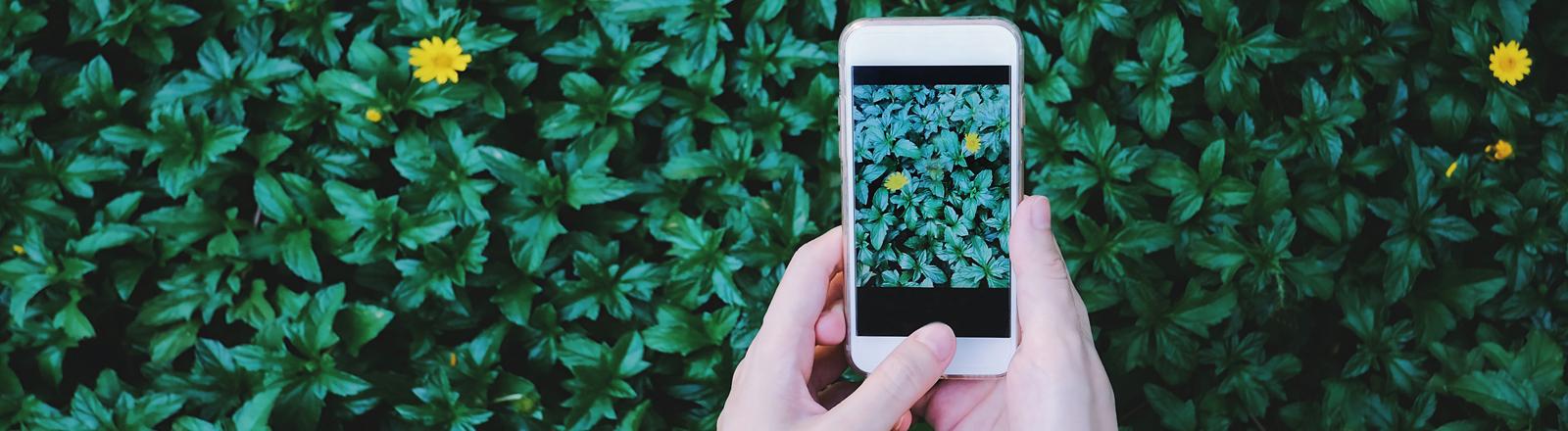 Smartphone fotografiert grüne Hecke