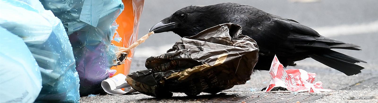 Krähe wühlt im Müll