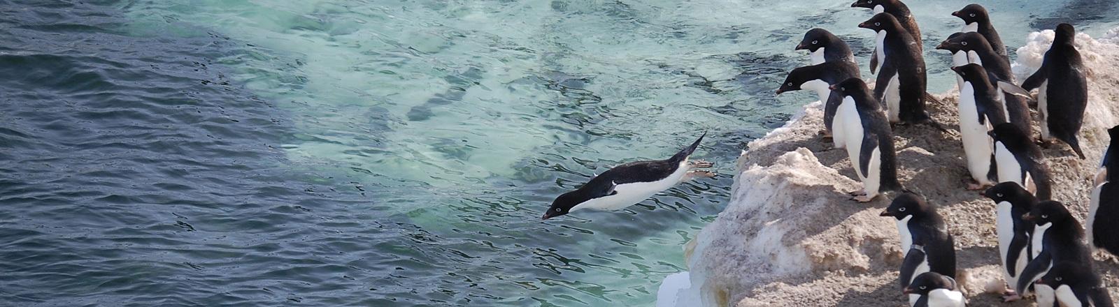 Adelie-Pinguine stehen auf einem Eishügel. Einer springt ins Wasser.