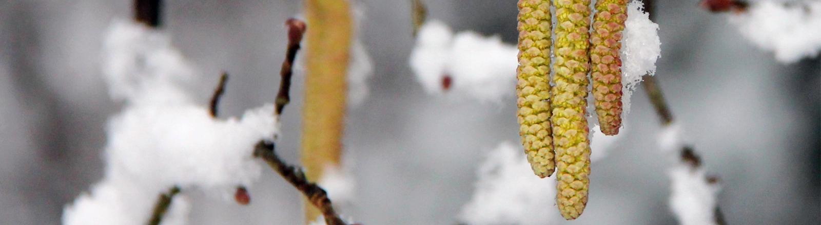 Ein blühender Baum, dessen Blüten mit Schnee bedeckt sind