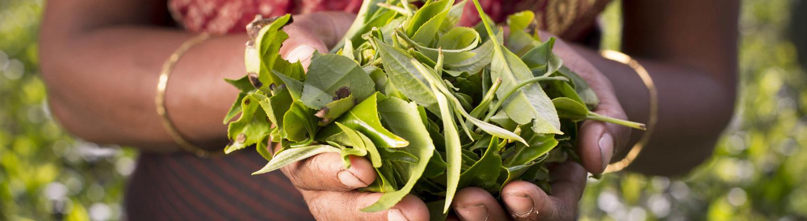 In zwei Händen liegen Blätter der grünen Teepflanze.