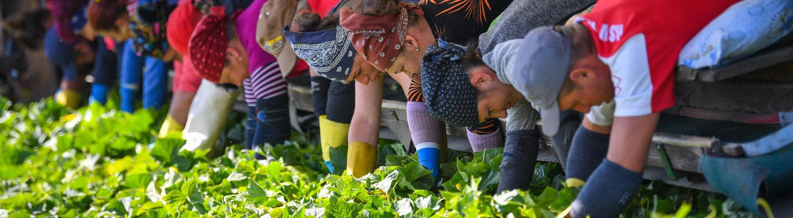 14.06.2018, Brandenburg, Sellendorf: Erntehelfer aus Rumänien liegen auf einem sogenannten Gurkenflieger und pflücken Einlegegurken auf einem Feld des Spreewaldbauern Ricken.