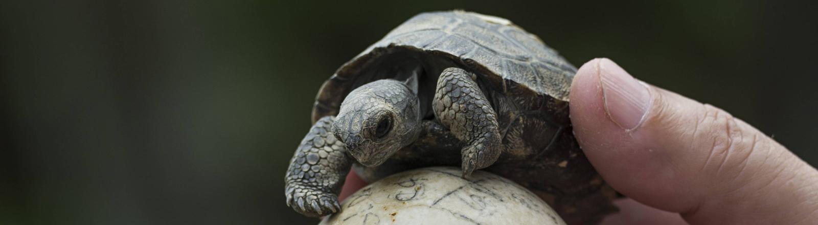Eine sehr kleine Riesenschildkröte auf den Galapagos-Inseln wird von einer Hand auf einer Art Ei gehalten.
