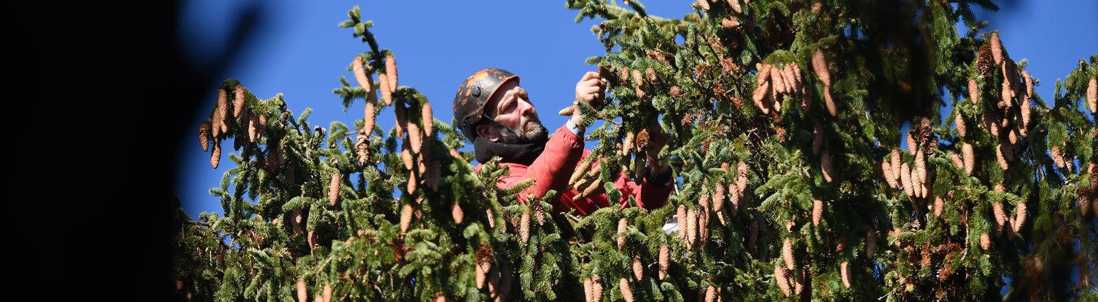 Zapfenpflücker Thomas Bellgardt erntet am 02.11.2015 in einem Wald bei Steinhausen (Baden-Württemberg) in der Krone einer rund 150 Jahre alten Fichte deren Zapfen.