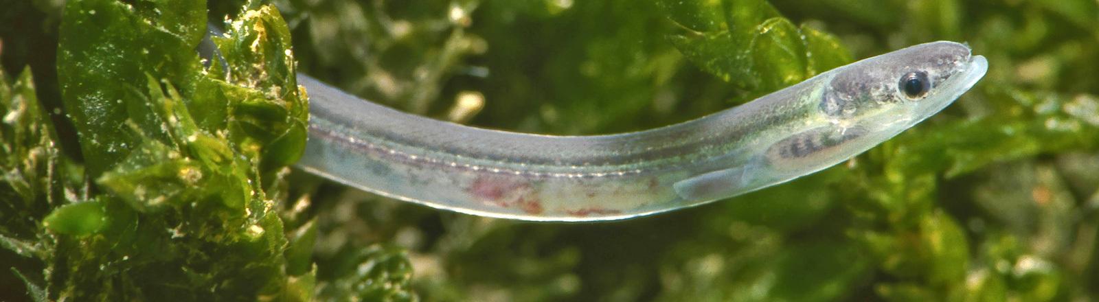 Ein Glasaal, ein noch junger Aal, der noch durchscheinend ist, schaut unter Wasser aus Algen heraus.