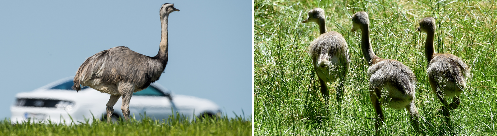 Ein wild lebender Nandu auf einem Feld in Mecklenburg-Vorpommern, dahinter ein Auto
