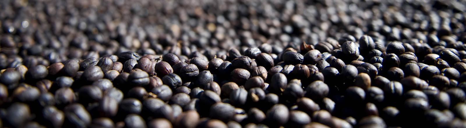 Auf einer Plantage in Panama werden Kaffeebohnen getrocknet. Die Bohnen liegen auf einer Art Förderband.
