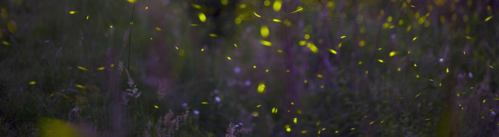 Gelb leuchtende Glühwürmchen fliegen über eine Wiese.