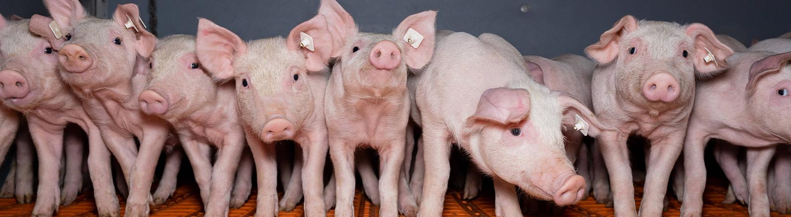 Mastschweine in einem konventionellen Massentierhaltungsbetrieb