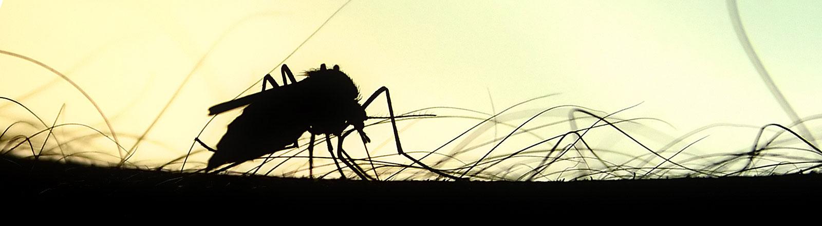 Eine Mücke auf einem menschlichen Arm