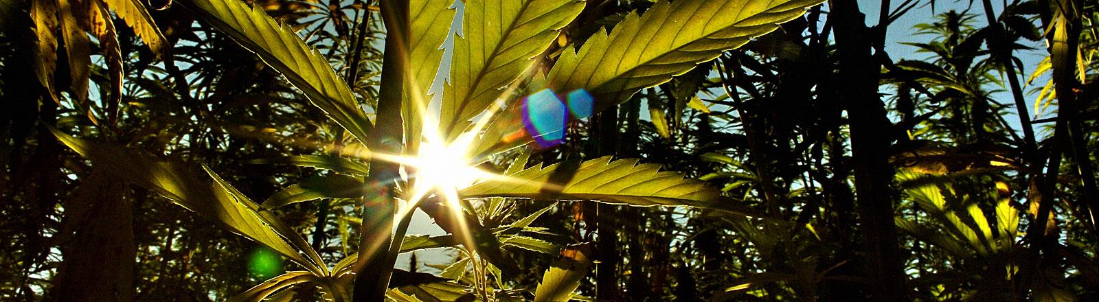 Eine Hanfpflanze im Gegenlicht der Sonne
