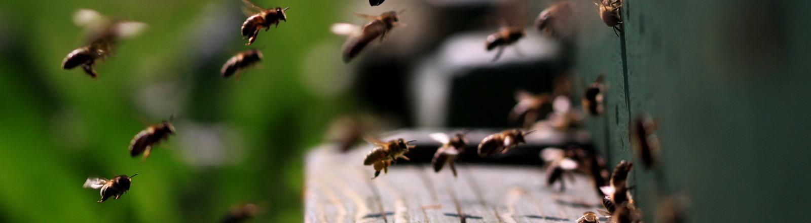 Bienen im Anflug auf ihren Bienenstock