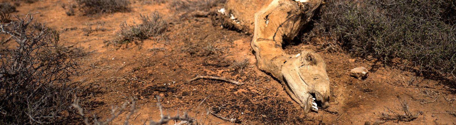 Ein verendetes Kamel