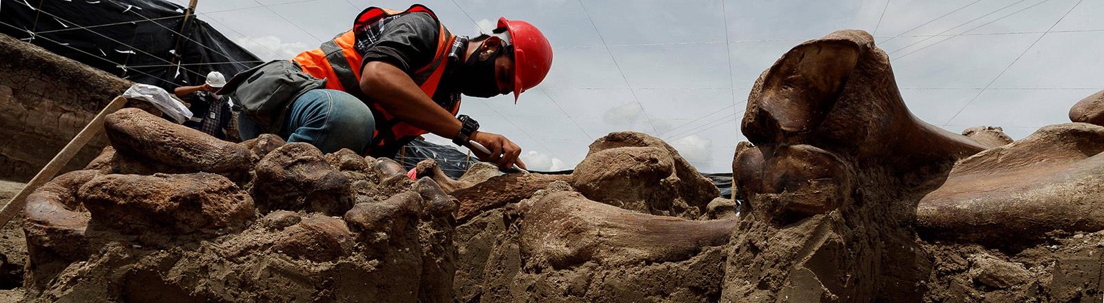 Am Fundort von über 200 Mammut-Skeletten in Mexiko: Ein Spezialist kniet neben riesigen Knochen und hält ein Werkzeug in der Hand (27.08.2020)