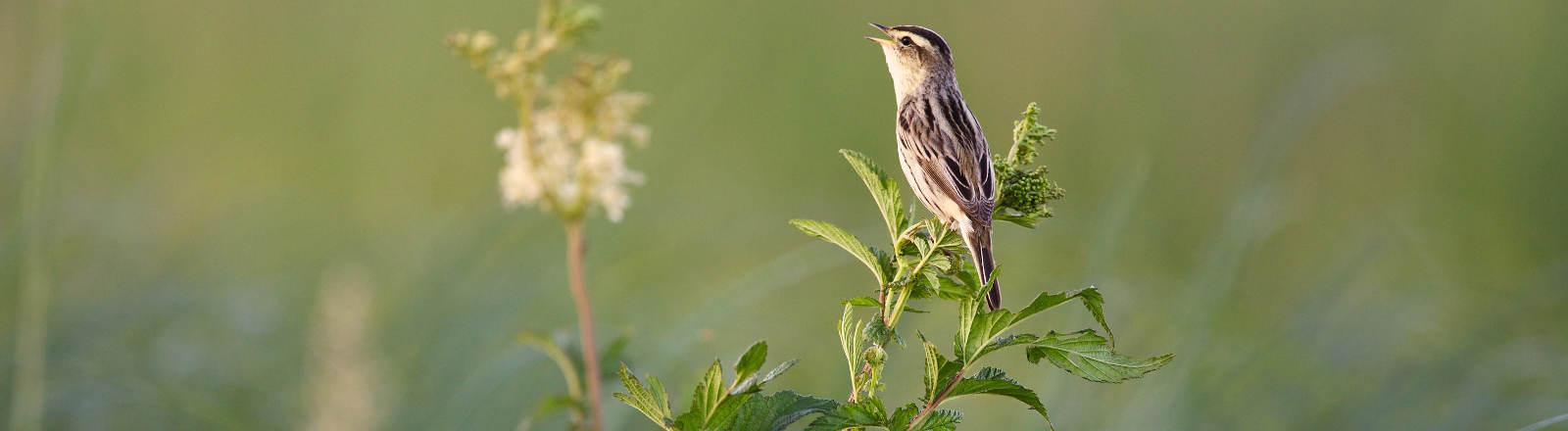 Der Vogel Seggenrohrsänger