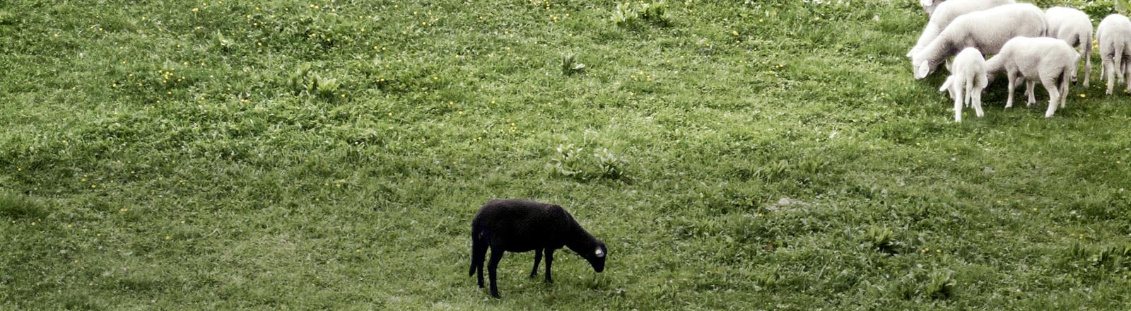 Ein schwarzes Schaf auf einer Wiese.