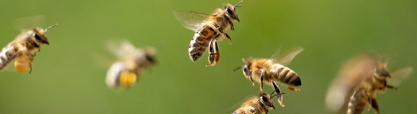 Mehrere Honigbienen fliegen durcheinander.