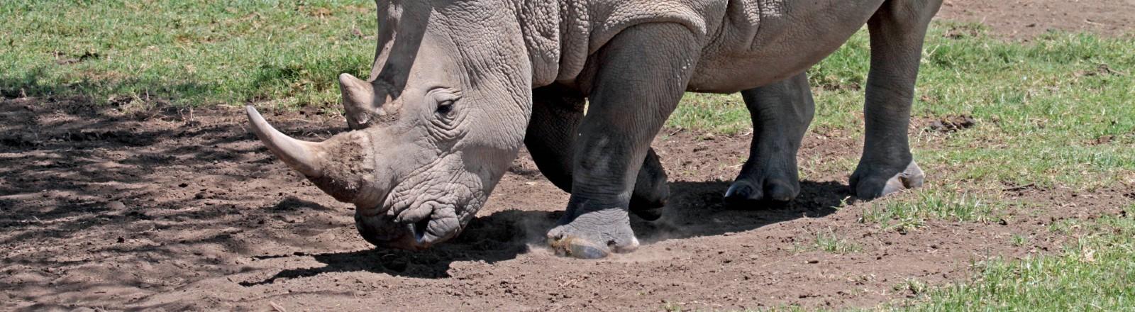 Nördliches Breitmaulnashorn in Kenia