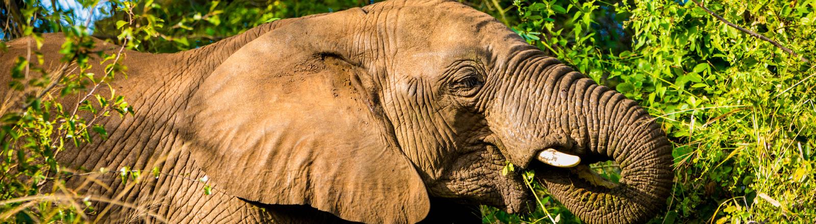Ein afrikanischer Elefant frisst in Zululand, Südafrika an einem Busch