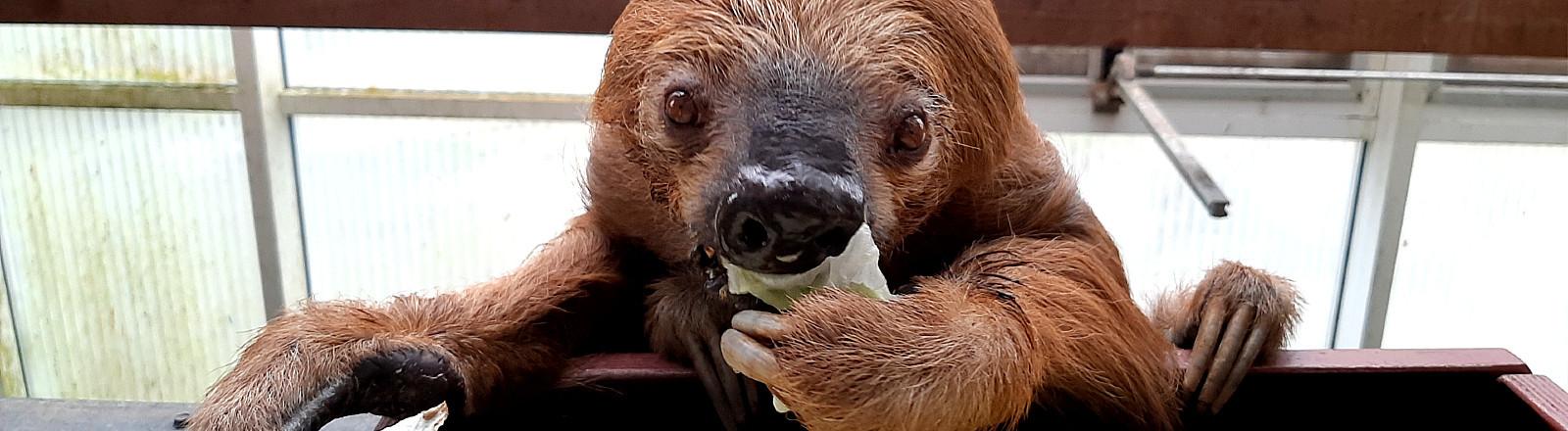 Faultier Jan im Zoo Krefeld