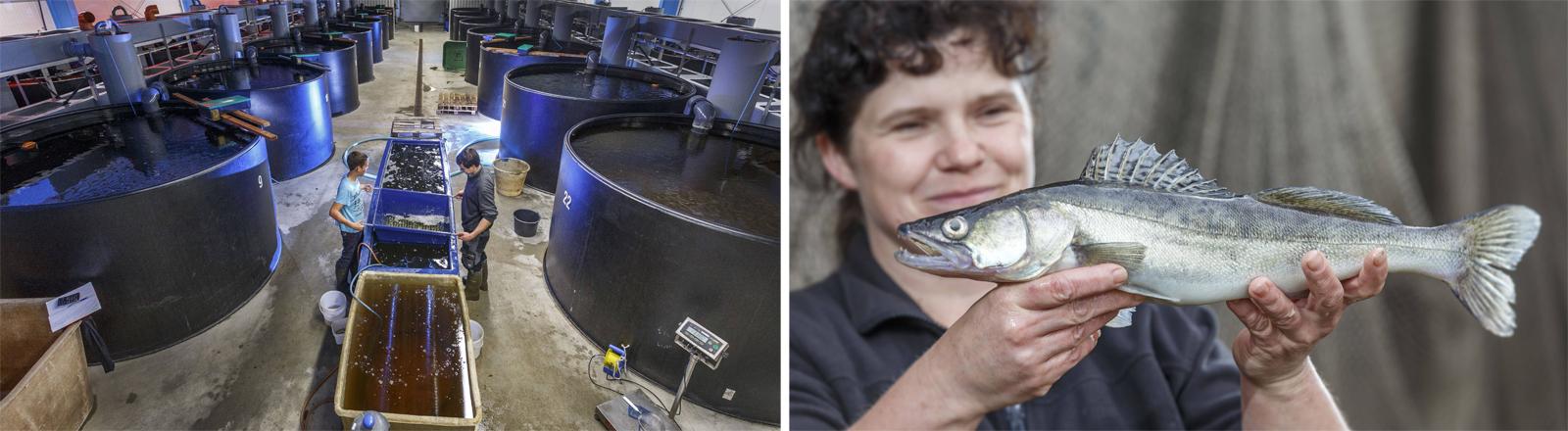 Fischzucht in Sachsen – geschlossene Aquakultur und ein ausgewachsener Zander aus der Zuchtanlange