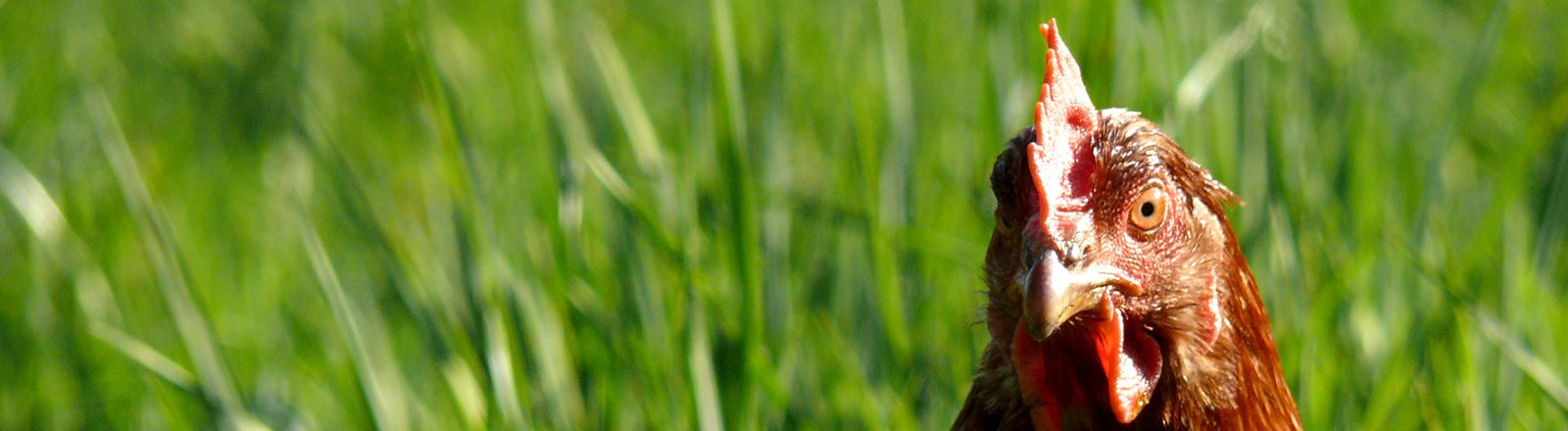 Ein Huhn im Gras