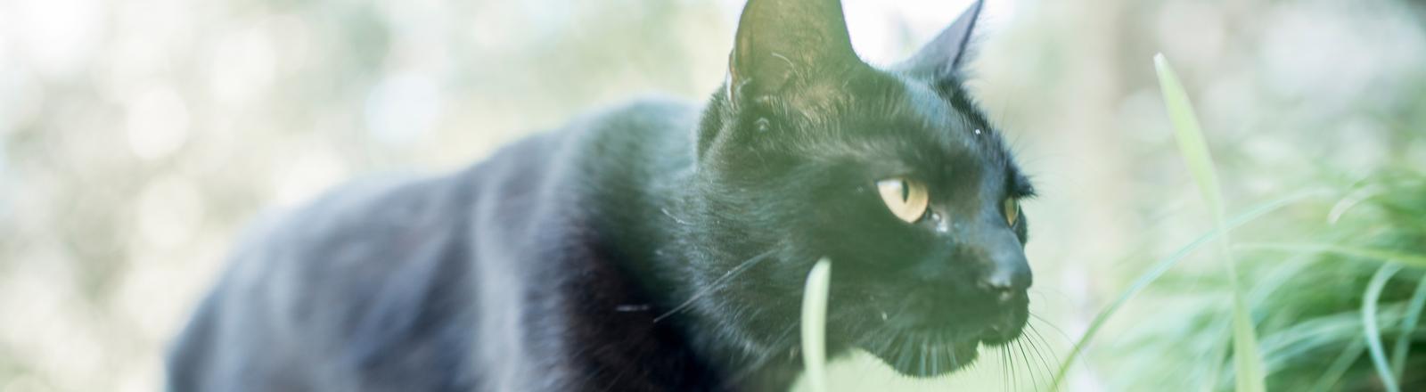 Ein schwarze Katze im Gras