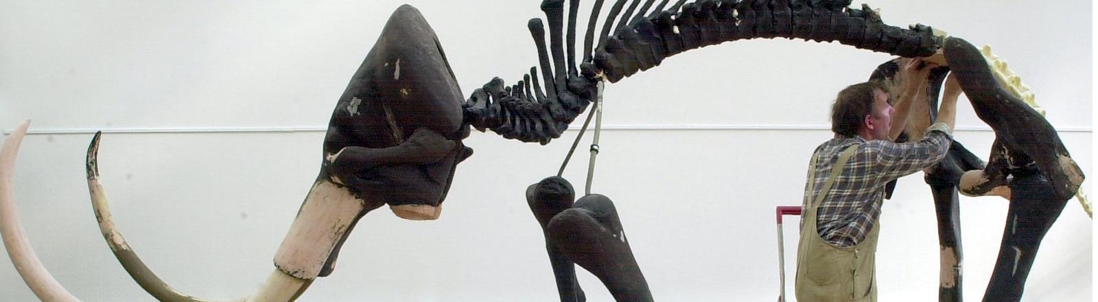 Die Wirbelsäule eines Mammutskelettes mit großen Zähnen betrachtet am 10.10.2001 ein Präparator im Kreishaus der brandenburgischen Stadt Forst.
