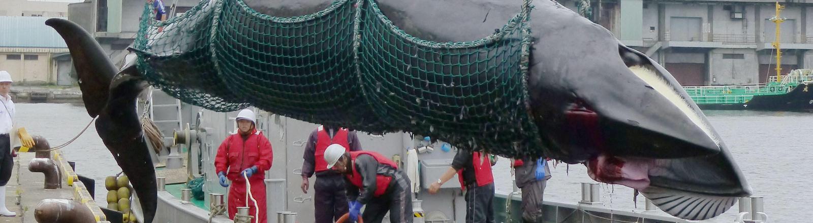 Ein toter Zwergwal wird von einem Walfänger in Kushiro, Hokkaido, Japan gehievt.