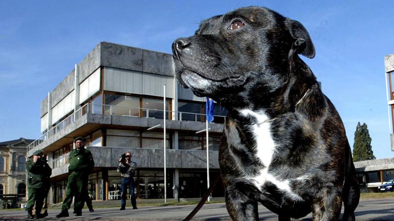 Ein Staffordshire Bullterrier steht unter den wachen Augen der Polizei irgendwo herum