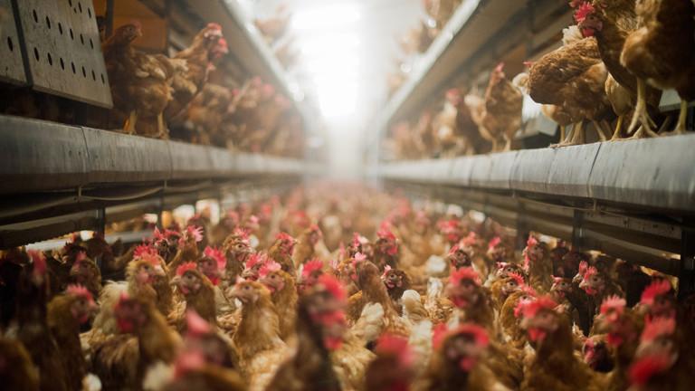 Legehennen stehen am 10.09.2014 in einem Betrieb für die Produktion von Eiern aus Freilandhaltung in Bergen im Landkreis Celle.