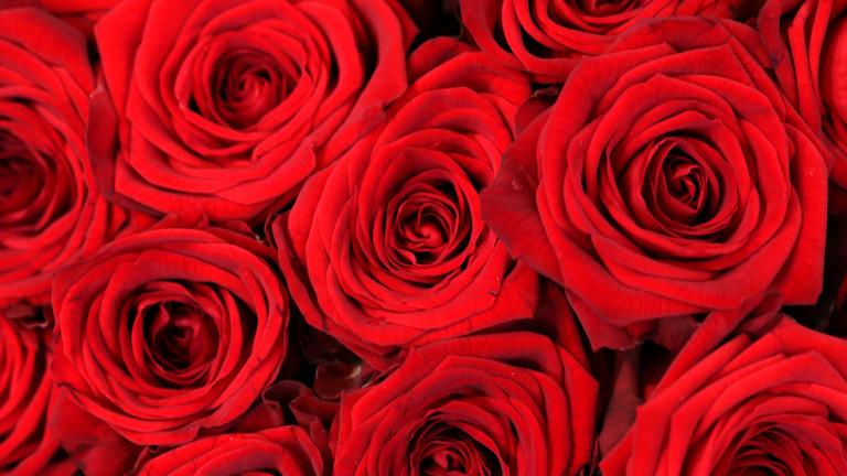 Viele schöne rote Rosen.