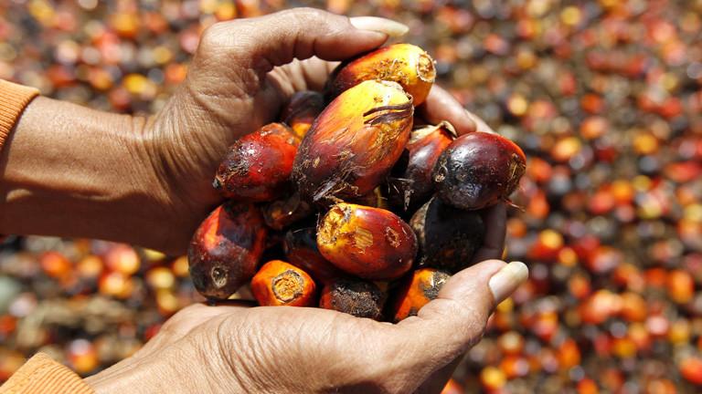 In zwei Händen liegen die Früchten der Ölpalme; Bild: dpa