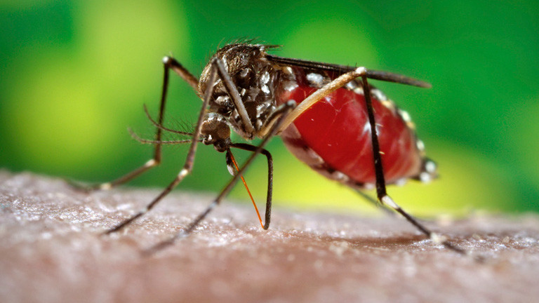 Die Stechmücke Aedes aegypti; Foto: dpa