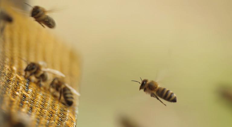 Hitze macht Bienen besoffen