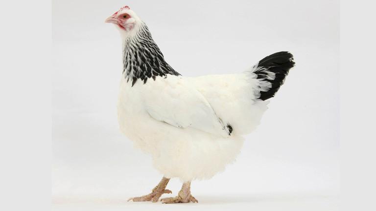 Ein weißes Huhn mit schwarzem Gefieder am Hals und an der Schwanzspitze. Ein Sussex-Huhn.
